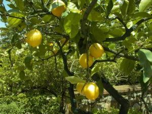 Lemons for essential oils