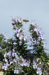Rosemary flowers for essential oils