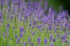 lavendar flowers for essential oils